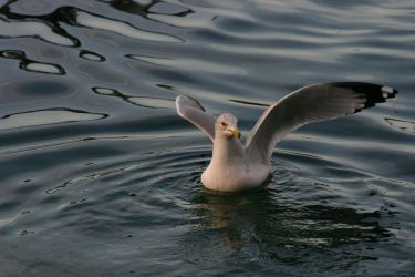 Eola-Seagul Wings IV by Della-Stock