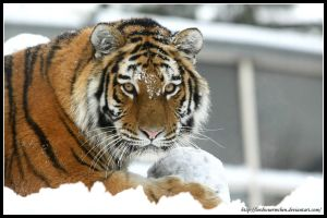 Snow Tiger II by AF--Photography