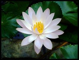 Lotus by Mr-Ripley