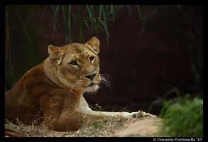Lioness by TVD-Photography