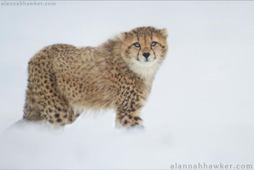 Cheetah 15 by Alannah-Hawker