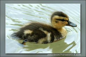 Baby Duck by jamessayers