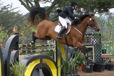 Bay Warmblood Grand Prix Jumpers by HorseStockPhotos
