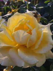 Yellow Rose 2 by WysteriaCampion913