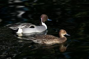 Pintail Ducks - 1 by dkbarto