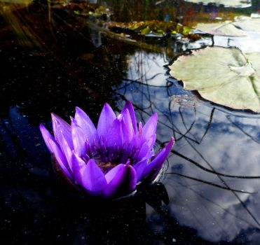 From the depths rose a lovely water lily ... by xjames7