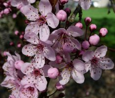 Cherry Tree Pink Flower Bunch by Enchantedgal-Stock