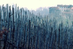 vineyard by Itapao