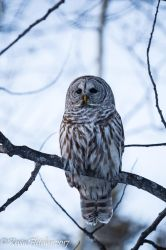 Barred Owl by sgt-slaughter