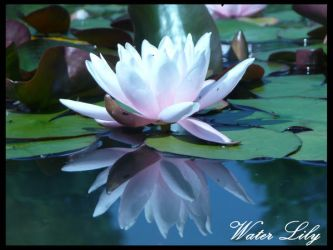 Water Lily by PunxAngel