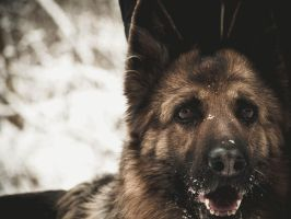 German Shepard by SmokedDuvel