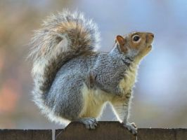 Eastern gray squirrel 37 by EasternGraySquirrel