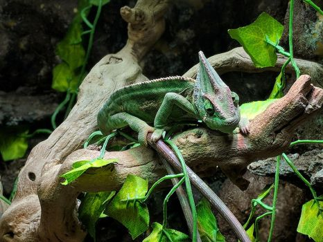 chameleon 2 by yellowicous-stock