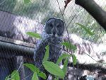 Great Grey Owl 003 by Elluka-brendmer