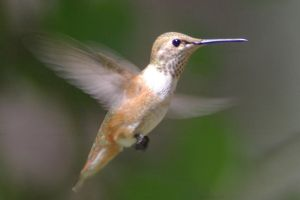 Rufous Hummingbird by PatGoltz