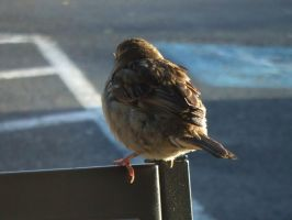 Sparrow in the Morning - Back by JennHolton