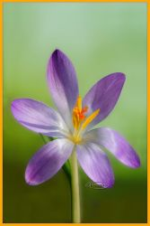Crocus tommasinianus by Nameda