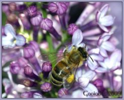 Bee on lilacs by Gooiool