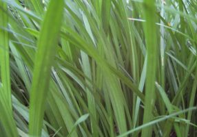 Grass Texture 1-Side Closeup by ErrantDreams