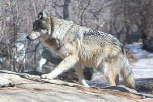 Mexican Wolf Stock 37 by HOTNStock