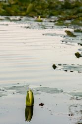 Water Lily by MMoreland
