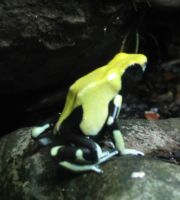 Another cool Dart Frog by Sunspot01