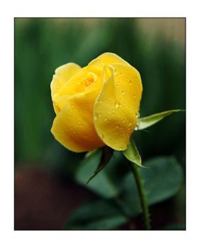 Yellow Rose by greenday-ra