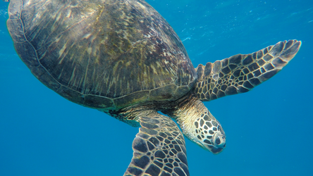 Contemplative Dive Turtle by Raulboy