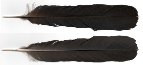 Black Feather two views by dtf-stock