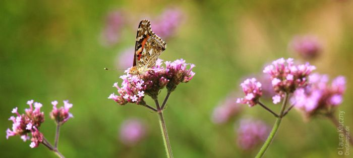 painted lady by Kluschi