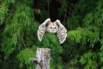 TAWNY OWL by major-holdups