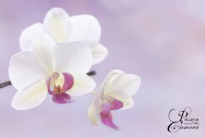 Orchids by PassionAndTheCamera