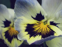 pansy face by I-X-O-R-A