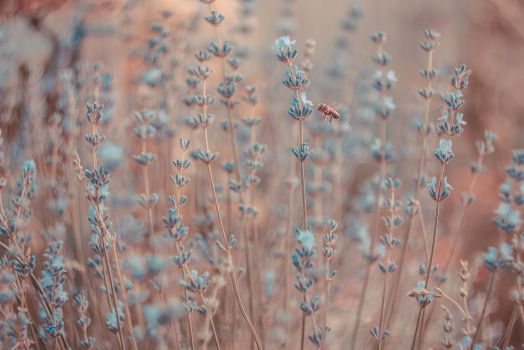 Of lavender, tiny bee and rose gold by nwebster