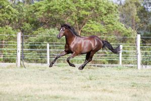 Dn black pony gallop side 3/4 view by Chunga-Stock