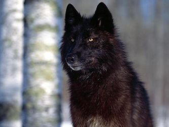 black wolf by WolfBlade1