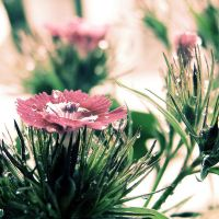 pink and green by Aparazita-R
