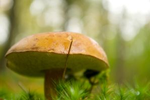 Little brown boletus - close-up by steppeland