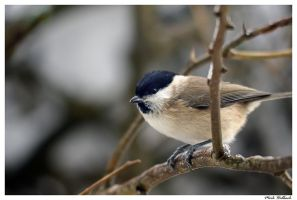 Winter Marsh Tit by MrMeik