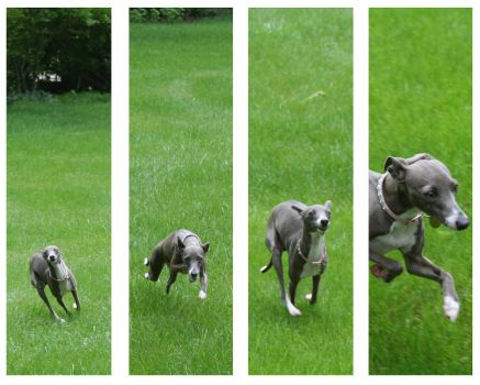 Running Italian Greyhound by rpieratt
