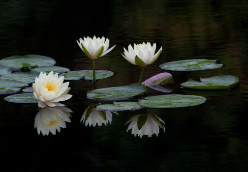 Water Lilies Vl by deseonocturno