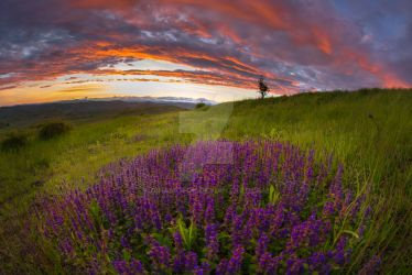 sunset with lavender by dinamofob