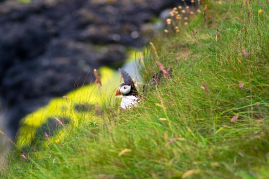 Puffin! by JuncalDelacroix