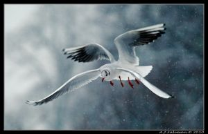 Winter Gulls by andy-j-s