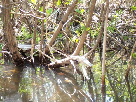 Mangrove Tunnels 1 by Polly-Stock