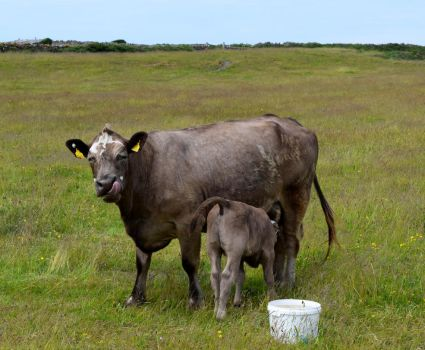 A Cow and Her Calf by Renartus