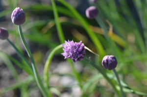 Chive by endag