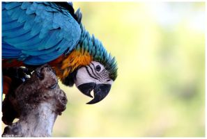 Blue and Yellow Macaw by Nyeleti