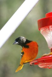 Baltimore Oriole Blessing by Crematia18
