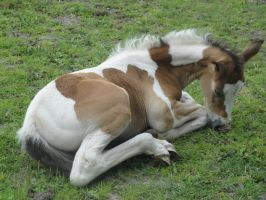 Anja - Lying Bay Tobiano Filly by Horselover60-Stock